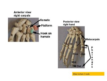 Presentation: Bones of the Hand and Wrist