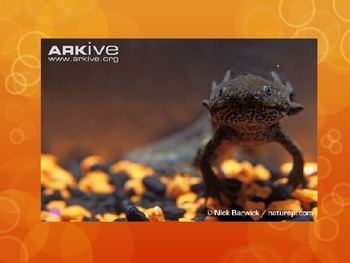 Presentation on the Axolotl Amphibian
