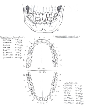 Primary and Permanent Dentition Study Guide
