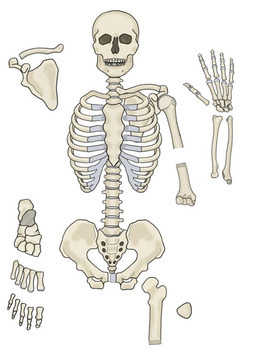 photo regarding Printable Human Skeleton referred to as Printable Everyday living Sizing Human Skeleton Style