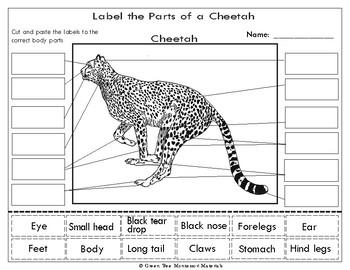 cheetah diagram printables africa   label the parts of a    cheetah    tpt  printables africa   label the parts of a    cheetah    tpt