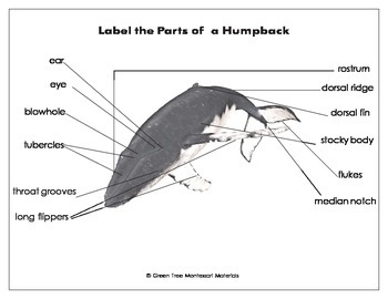Printables: Label the parts of a Humpback whale