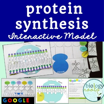 Protein Synthesis Interactive Model