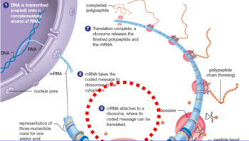 Protein Synthesis: Smartboard Lesson (with student version)