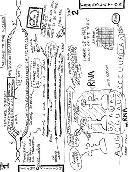 Protein Synthesis - Transcription/Translation Graphic Notes