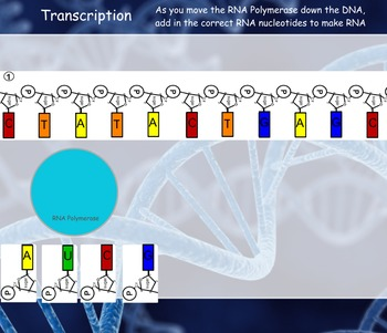 Protein Synthesis (Transcription and Translation) Manipulative