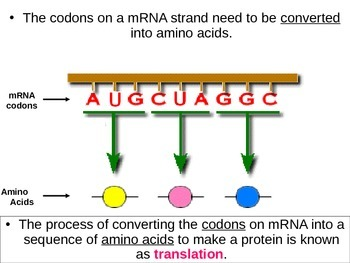 Protein Synthesis Translation Power Point Lesson