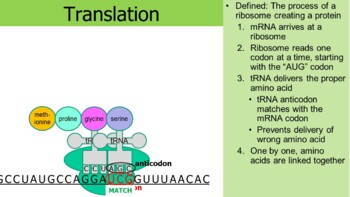 Protein Synthesis and Translation PowerPoint (& free student worksheet)