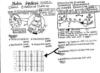 Protein Synthesis coloring sheet transcription translation