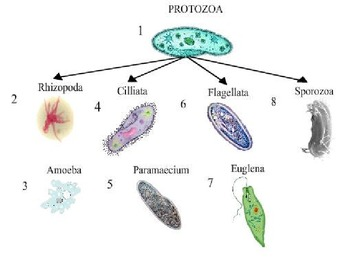 Protists - A microorganism with detailed Classification