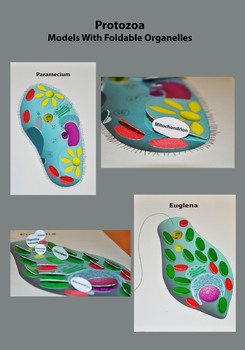 Protozoa. Models with Foldable Organelles