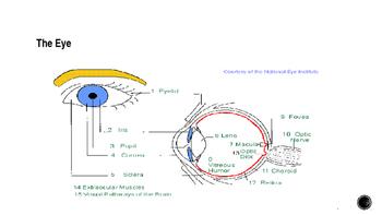 Psychology Biology and Behavior- Vision