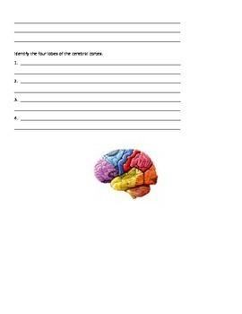 Psychology David Myers 8th Edition Chapter 2 The Nervous System