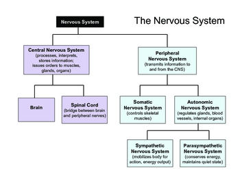 Psychology the nervous system presentation by thesocialscientist psychology the nervous system presentation ccuart Choice Image