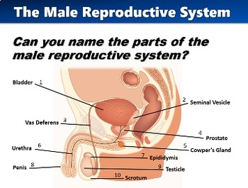 Puberty and the Reproductive System