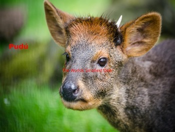 Pudu - Power Point - endangered animal facts pictures information