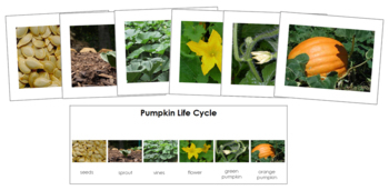 Pumpkin Life Cycle Sequence Cards