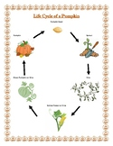 Pumpkin life-cycle and Parts of the Pumpkin posters
