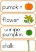 Pumpkin life cycle word wall