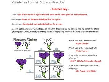 mendel punnett square worksheet kidz activities. Black Bedroom Furniture Sets. Home Design Ideas