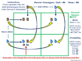 Punnett square tutorial guided notes organizer