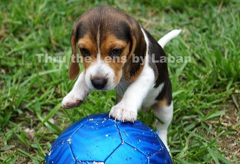 Puppy Dog Playing Ball Stock Photo #79