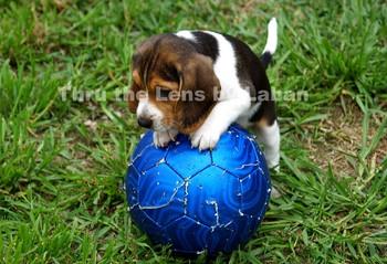 Puppy Dog on Ball Stock Photo #80