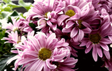 Purple Flowers (Mums)
