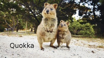 Quokka description
