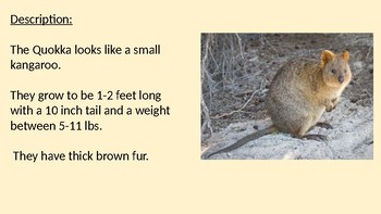 Quokka - Marsupial power point information facts overview