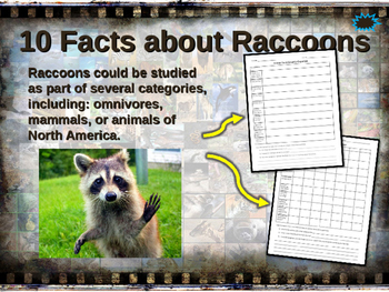 RACCOONS - visually engaging PPT w facts, video links, handouts & more