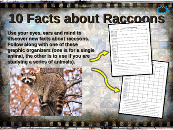 RACCOONS - visually engaging PPT w facts, video links, han