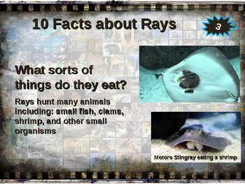 RAYS (stingrays, mantas & more: 10 facts engaging PPT (links, graphic organizer)