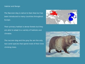 Raccoon Dog - Power Point - Information Facts Pictures