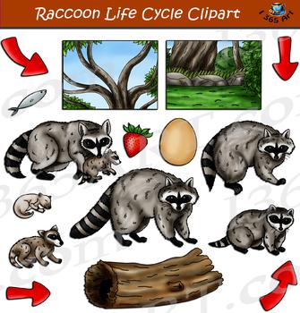 Raccoon Life Cycle Clipart