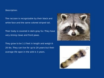 Raccoon - Power Point Information Facts Pictures