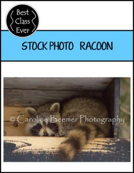 Racoon Photo