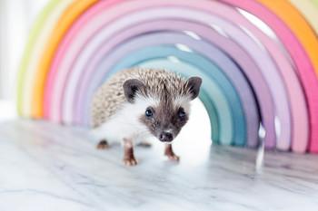 Rainbow Hedgehog Digital Puzzle VIPKID