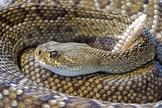 Rattle Snake Digital Puzzle VIPKID