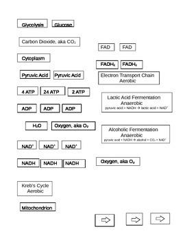 Cellular Respiration Worksheet and Hands on Paper Lab