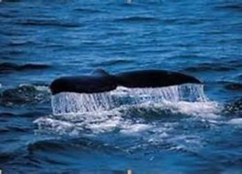 Reading Street Grade 4 Unit 3.2 Adelina's Whales