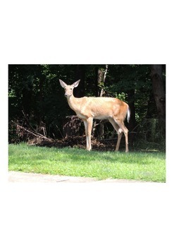 Real Photo Clipart-Deer