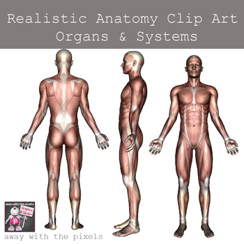 Realistic Anatomy Clip Art - Human Body Organs and System Images, Digestive