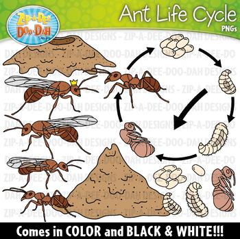 Realistic Ant Life Cycle Clipart {Zip-A-Dee-Doo-Dah Designs}