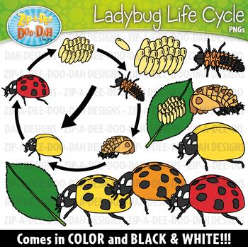 Realistic Ladybug Life Cycle Clipart {Zip-A-Dee-Doo-Dah Designs}