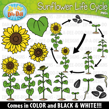 Realistic Sunflower Life Cycle Clipart {Zip-A-Dee-Doo-Dah ...