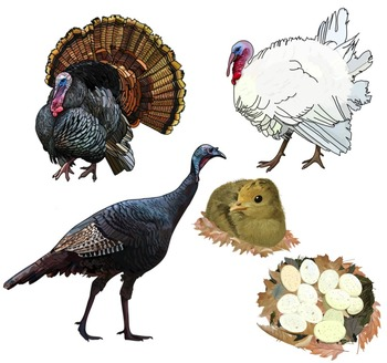 Realistic Turkey Clip Art Illustrations