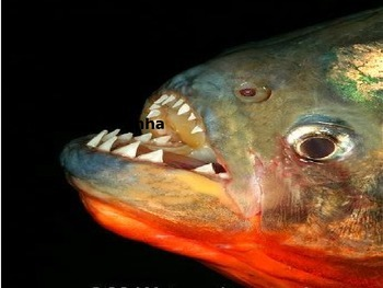 Red Belly Piranha - Power Point - Information Facts Pictures