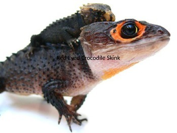Red Eyed Crocodile Skink - Power Point - Information Facts Pictures