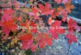 Red Fall Leaves Stock Photo #226